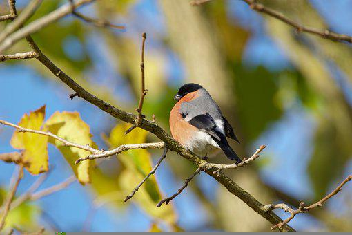 Bullfinch, Bird, Branch, Perched, Animal, Songbird