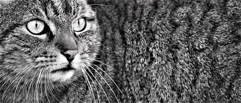Cat, Pet, Animal, Face, Whiskers, Head, Domestic Cat