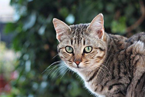 Cat, Tabby, Pet, Gray Tabby, Face, Whiskers, Animal