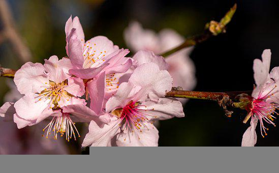 Flowers, Tree, Branches, Blossom, Cherry Blossoms