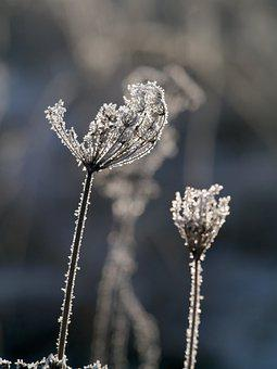 Flowers, Plant, Frost, Rime, Winter, Frozen, Ice