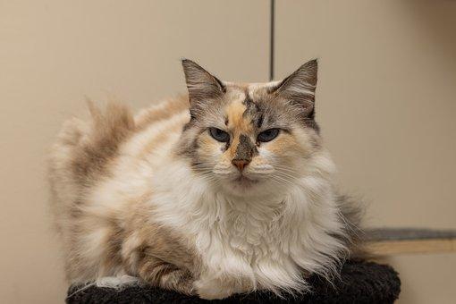 Cat, Pet, Animal, Domestic Cat, Feline, Mammal, Fur