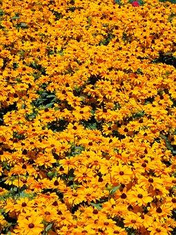 Great Kúpvirág, Rudbeckia Fulgida, Herb, Orange