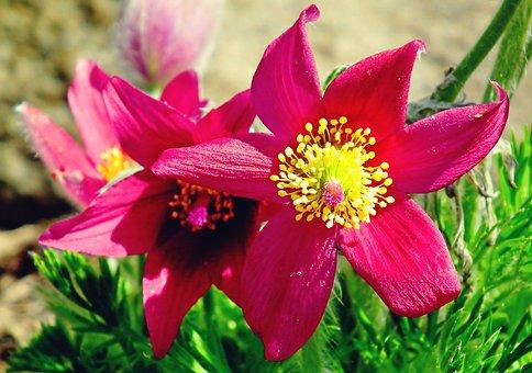 Pasqueflower, Flowers, Plant, Red Flowers, Petals