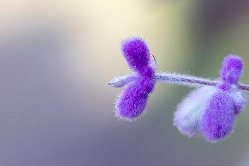 Sage, Flowers, Plant, Branch, Lamiaceae