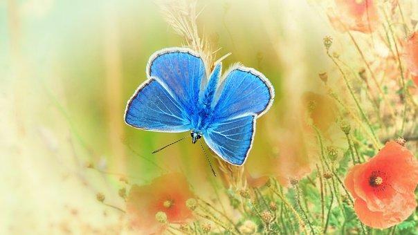 Blue Butterfly, Butterfly, Flowers, Polyommatus Icarus