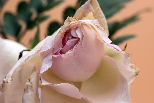 Flower, Rose, Petals, Withered, Faded, Nature, Dry