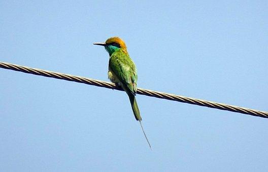 Bird, Bee-eater, Small Bird, Green Bee-eater