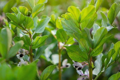 Flower, Lima Bean Flowers, Spring, Vegetable, Green