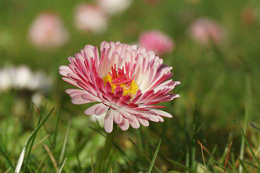 Colorful Daisy, Wildflowers, Spring Flowers, White-red
