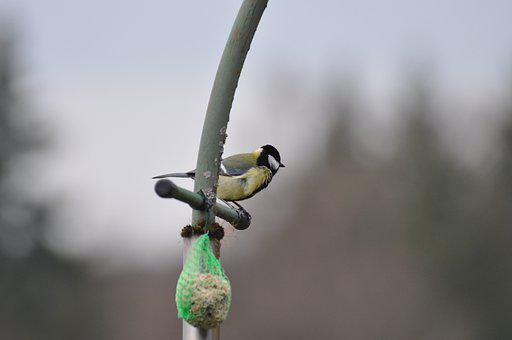 Bird, Tit, Blue Tit, Perched, Perched Bird, Ave, Avian