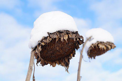 Winter, Snow, Sunflower, Withered, Dry, Frost, Flower