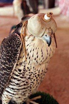 Bird, Raptor, Falcon Hood, Hood, Falconry, Bird Of Prey