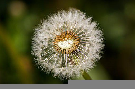 Dandelion, Plant, Seed Head, Blowball, Seeds, Fluffy