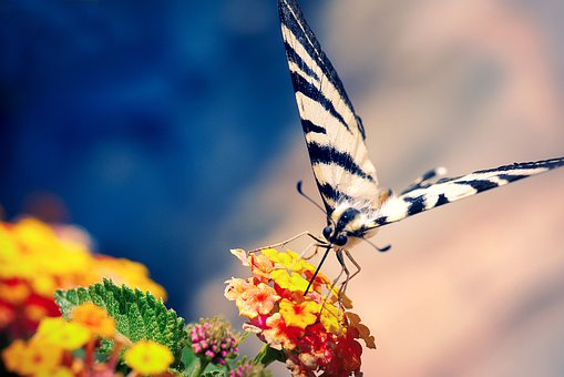 Butterfly, Swallowtail, Flowers, Wings, Insect, Animal