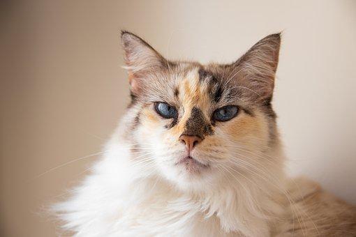 Cat, Pet, Animal, Head, Face, Whiskers, Fur