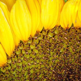Sunflower, Flower, Petals, Detail, Yellow Flower, Bloom