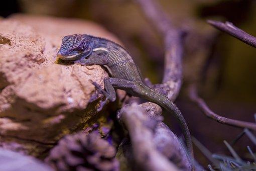 Lizard, Iguana, Animal, Reptile, Exotic, Creature