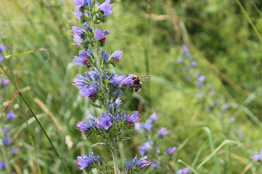 Hummel, Insect, Nature, Plant, Flower, Summer, Nectar