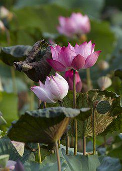 Lotus, Flowers, Plant, Petals, Water Lily, Pink Flowers
