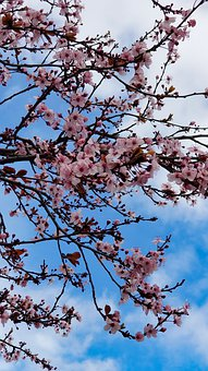 Plum Blossom, Flowers, Spring, Branches, Pink Flowers