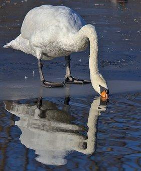 Swan, Bird, Ice, Drink, Reflection, Water, Bill, Lake