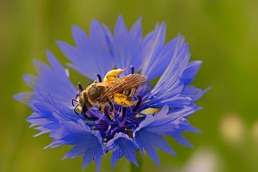 Honey Bee, Cornflower, Knapweed, Nature, Pollen, Insect