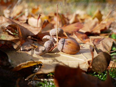 Autumn, Oak Nut, Foliage, Oak, Nut, Forest, Season