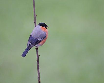 Bird, Bullfinch, Branch, Avian, Ornithology, Animal