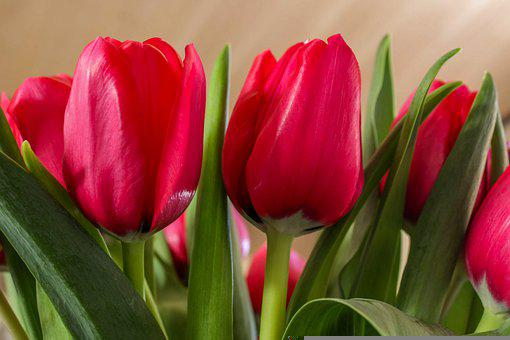 Tulips, Flowers, Plant, Red Tulips, Red Flowers, Bloom
