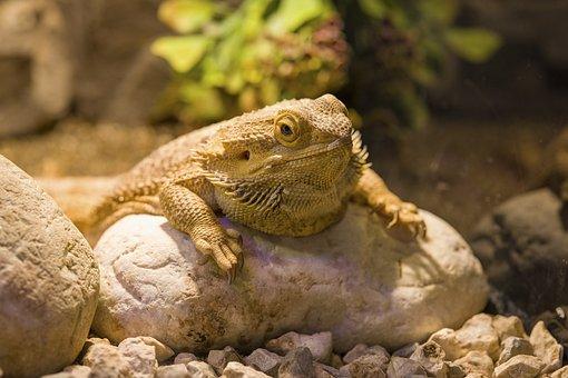 Lizard, Iguana, Reptile, Animal, Dragon, Exotic, Head