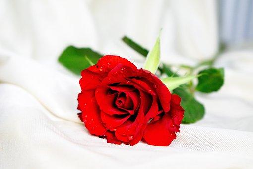 Flowers, Roses, Red, Rose, Bloom, Blossom, Love, Plant