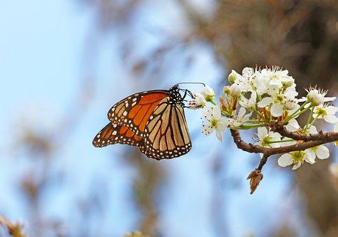 Butterfly, Orange, Rust, Brown, Cream, Pear Tree