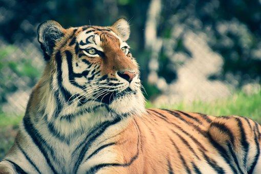 Tiger, Animal, Wildlife, Siberian Tiger, Mammal