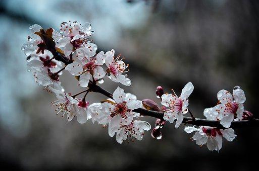 Plum Blossom, Flowers, Dew, Prunus Cerasifera, Spring