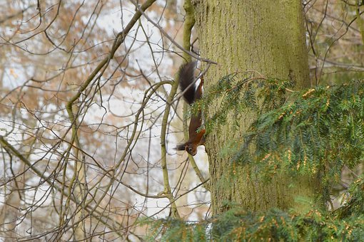 Squirrel, Tree, Rodent, Foraging, Eating, Wildlife