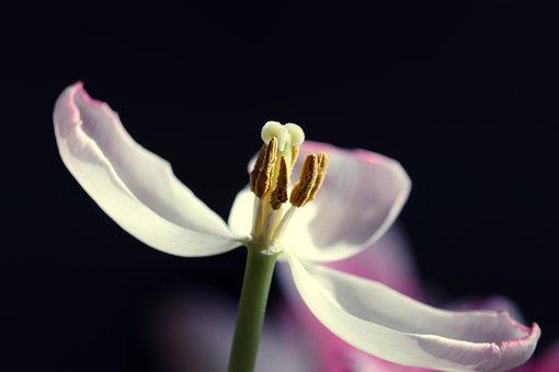 Tulip, Flower, Plant, Pistil, Stamen, Carpels, Petals