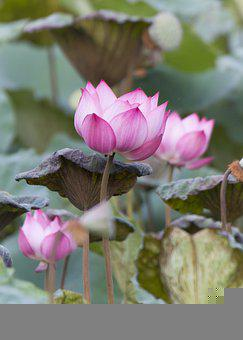 Lotus, Flower, Plant, Petals, Water Lily, Pink Flower