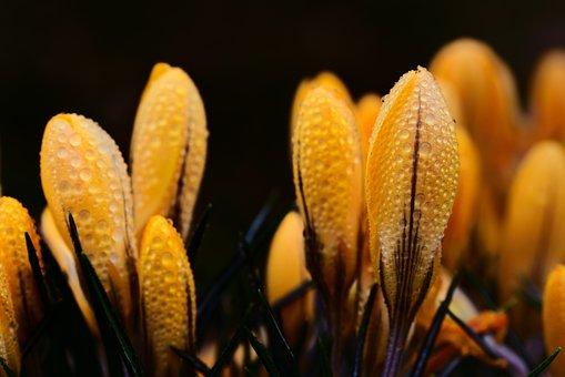 Crocus, Flowers, Dew, Yellow Crocus, Yellow Flowers
