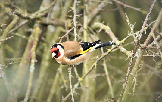 Bird, Goldfinch, Nature, Wildlife, Animal, Branch