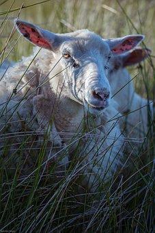 Sheep, Animal, Grass, Mammal, Livestock, Wool, Eyes