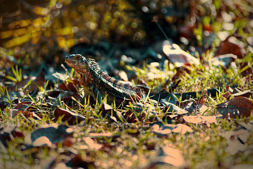 Lizard, Reptile, Grass, Ground, Animal, Animal World