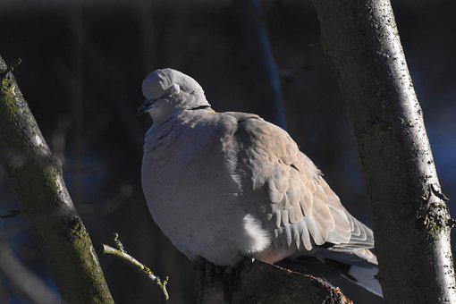 Dove, Bird, Wood, Perched, Collared Dove, Animal