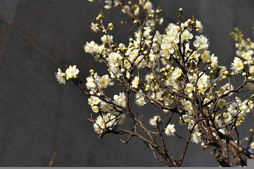 Plum Blossom, Flowers, Spring, Buds, Branches, Bloom