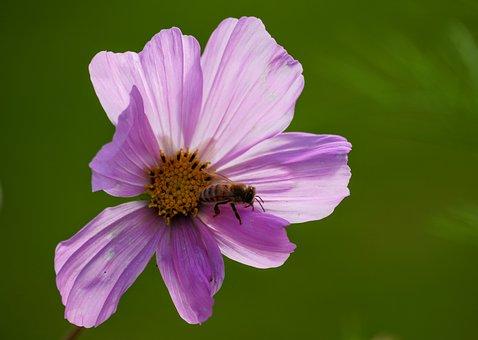 Purple, Cosmos, Bee, Pollen, Insect, Cosmea