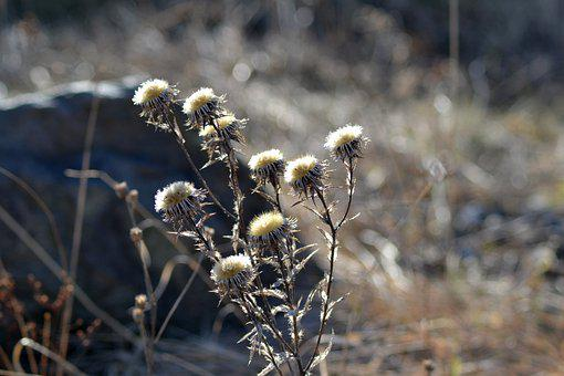 Flowers, Plant, Withered, Dry Flowers, Dried Flowers