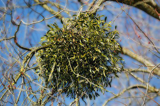 Mistletoe, Tree, Branch, Plant, Evergreen, Flora