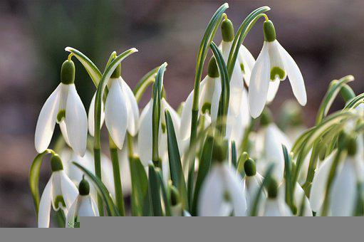 Snowdrops, White Flowers, Flower Bulbs, Spring, Vernal