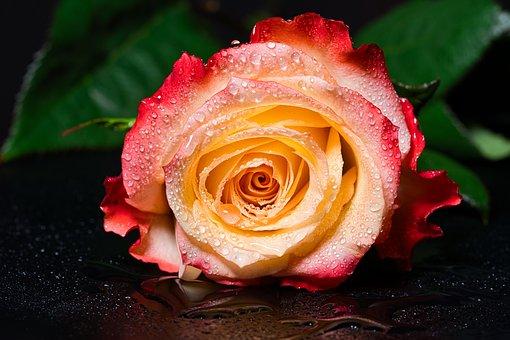 Rose, Flower, Wet, Dew, Dewdrops, Drip, Drop Of Water