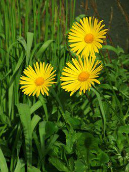 Caucasian Zergevirág, Doronicum Orientale, Flowers